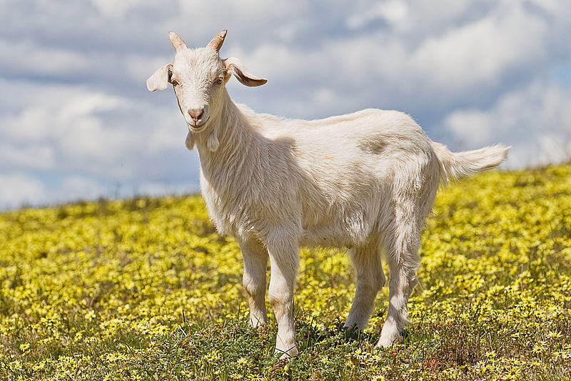 800px-Domestic_goat_kid_in_capeweed.jpg